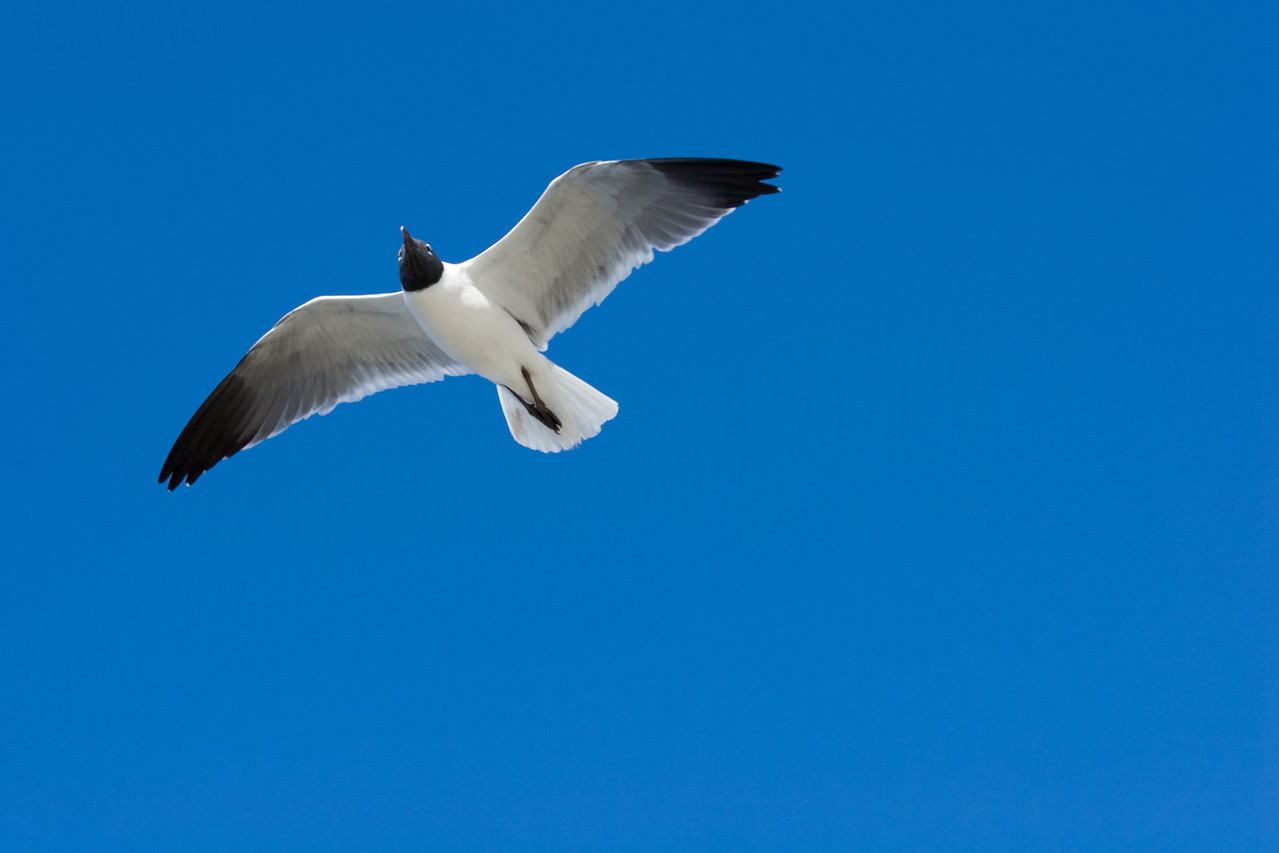 Seagull near the Jacksonville Beach Pier