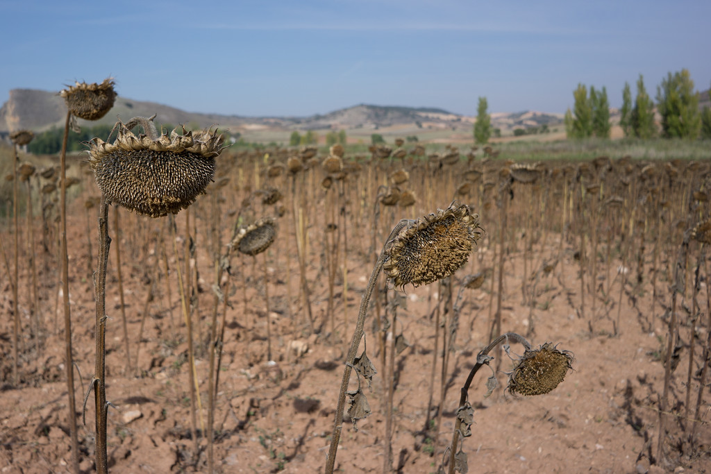 Dead Sunflowers